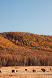 Autumn pasture. The autumn scenery from China's Inner Mongolia Royalty Free Stock Image