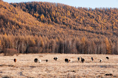 Autumn pasture. The autumn scenery from China's Inner Mongolia Stock Photo