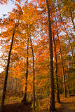 Autumn Path. Orange trees in an autumn forest Stock Photo