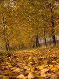 Autumn Path. A path in between a row of trees covered with yellow leaves in autumn season Royalty Free Stock Photos
