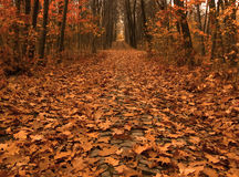 Autumn path across the wood. Autumn picture of fallen leaves on a path across the wood Royalty Free Stock Photo