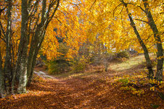 Autumn path in a forest Stock Photography