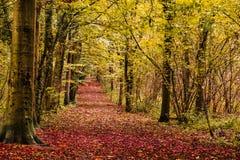 Autumn path in woodland. Autumn path running through Whitwell wood Stock Photos