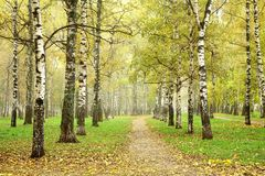 Autumn pathway in october morning mist birch grove Royalty Free Stock Images