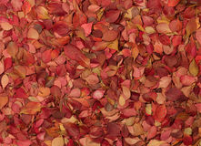 Autumn pattern. Barberry. Autumn pattern with bright leaves of barberry Stock Images