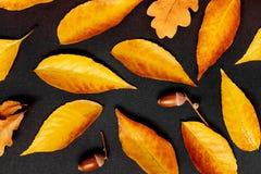 Autumn Pattern com bordo e o carvalho dourados sae no backgr escuro fotografia de stock