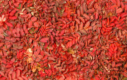 Autumn pattern with vivid red leaves of wild rose Stock Image