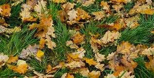 Autumn pattern from the yellow oak leaves Royalty Free Stock Photo