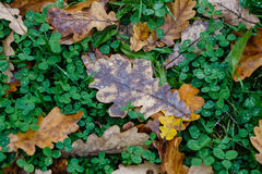 Autumn pattern from the yellow oak leaves Stock Images