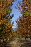 Autumn Peach Garden Royaltyfria Foton