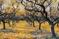 Autumn Peach Orchard Royaltyfri Fotografi