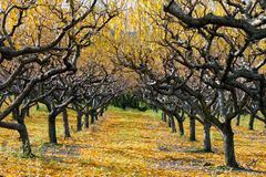 Autumn Peach Orchard Photos libres de droits