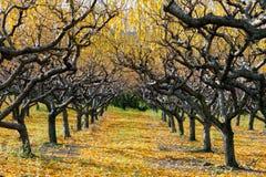 Autumn Peach Orchard Royaltyfria Foton