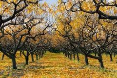 Autumn Peach Orchard Photo libre de droits