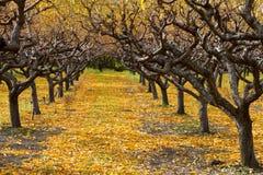 Autumn Peach Orchard Fotografering för Bildbyråer