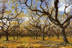 Autumn Peach Orchard Royaltyfri Foto