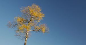 Autumn, the peak of one tree in the blue sky.  stock footage
