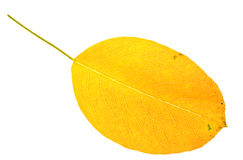 Autumn pear leaf Royalty Free Stock Image