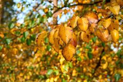 Autumn pear leaves royalty free stock image