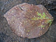 Autumn pear tree leaf rotting. Autumn broun pear tree leaf rotting fallen on the ground Stock Photography