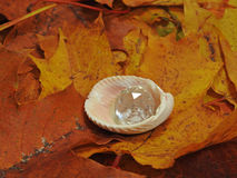 Autumn pearl in shell Stock Photos