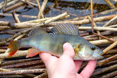 Autumn perch Royalty Free Stock Photography