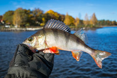 Autumn perch in angler hand Stock Photo