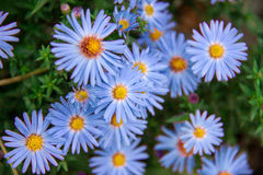 Autumn perennial aster blue on a green background Stock Photos