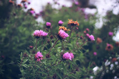 Autumn perennial Aster. Aster dumosus. Autumn perennial Aster with pink flowers stock photo