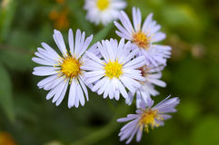 Autumn perennial aster flowers. Royalty Free Stock Images