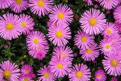 Autumn perennial aster purple on a green background Royalty Free Stock Images