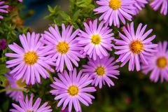Autumn perennial aster purple on a green background Stock Photo