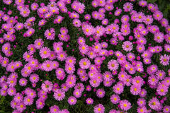 Autumn perennial aster purple on a green background Stock Image