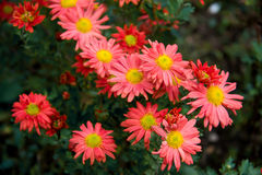 Autumn perennial orange aster on a green background Stock Image