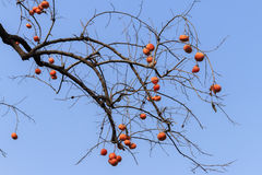 Autumn persimmon scene royalty free stock images