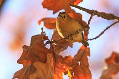 Autumn picture with orange leaves and singing bird Royalty Free Stock Photo