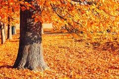 Autumn picturesque landscape - desiduous autumn tree with fallen autumn leaves lit by sunshine Stock Photo