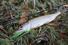 Autumn pike Stock Photography