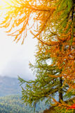 Autumn Pine Immagini Stock