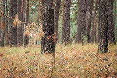Autumn pine branch with needles on a background of trunks of tall trees. Autumn pine branch with needles on the background of the trunks of tall trees is light Royalty Free Stock Photo