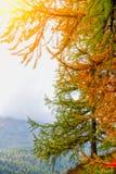 Autumn pine Stock Images