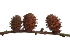 Autumn pine cone isolated Royalty Free Stock Image