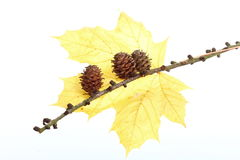 Autumn pine cone maple leaf isolated Royalty Free Stock Photography