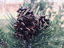 Autumn Pine Cones on a Pine Bush stock photos