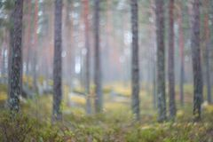 Autumn pine forest. Blurred texture. Autumn time. A little haze. Autumn pine forest. Blurred texture. Autumn time. A little haze stock photography
