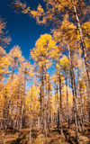 The autumn pine forest. China's Inner Mongolia of the Muordaoga scenic landscape Royalty Free Stock Image