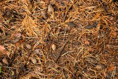 Autumn pine Forest floor texture Royalty Free Stock Photos