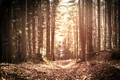 Autumn pine forest. Stock Photos