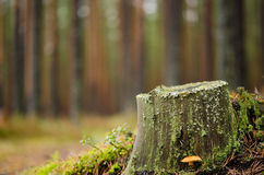Autumn pine forest Stock Image