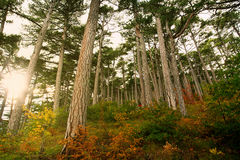 Autumn pine forest in rays of dawn sun Royalty Free Stock Photos